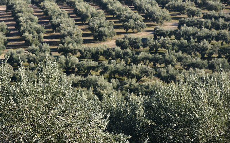 The extra virgin olive oil: from the tree to the bottle